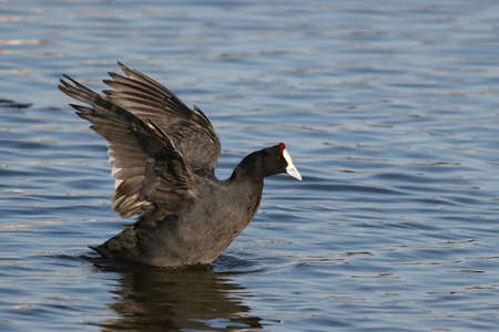 water fowl: Coot water fowl with wings outstretched on the water