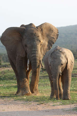 herbivore natural: Two African elephants in the afternoon sun Stock Photo