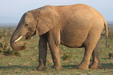 conservation grazing: African elephant eating grass which it has pulled up with its trunk