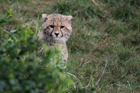 cheetah cub: Young cheetah cub hiding behind a green bush