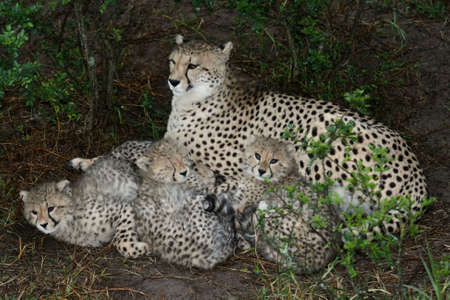 animal shelter: Cheetah wild cat with her cute baby cubs resting under a bush Stock Photo