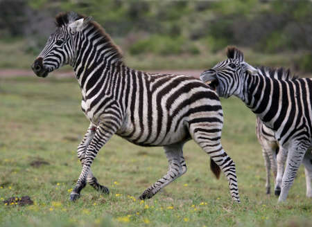 Male zebra showing aggression to a young zebra by biting it photo