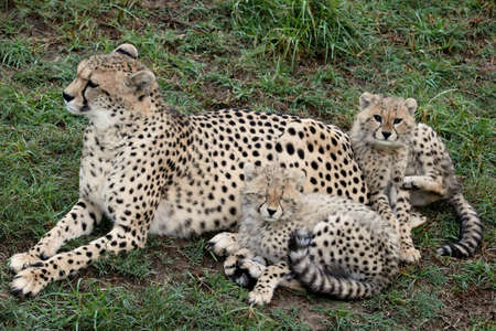 Mother cheetah on the lookout with two young cubs photo