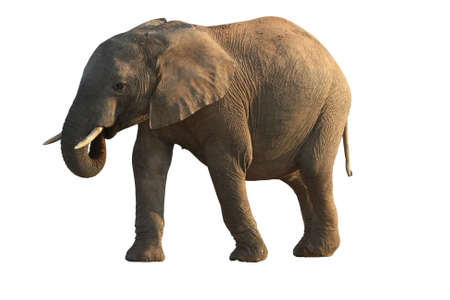 African elephant with its trunk in mouth - isolated