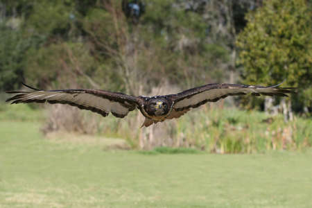 Jackal Buzzard bird of prey flying with wings outstretched photo