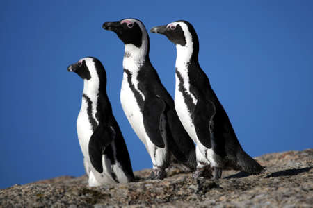 jackass: Three African or Jackass penguins in South Africa