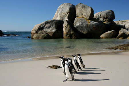 Penguins crossing the sandy beach at Boulders in South Africa Stock Photo