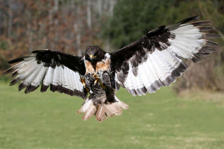Jackal Buzzard bird of prey flying with wings outstretched