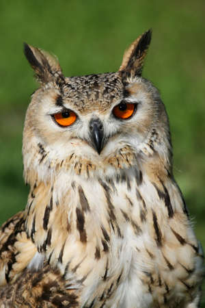 Portrait of a Great Horned Owl with large round orange eyes photo