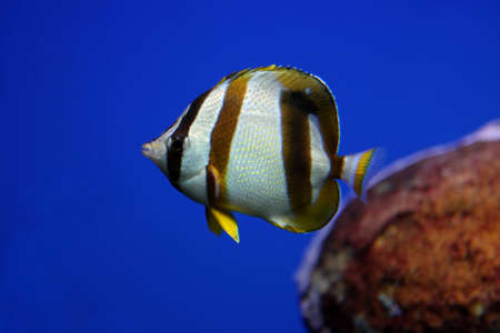 Tropical fish swimming in an aquarium with blue background photo