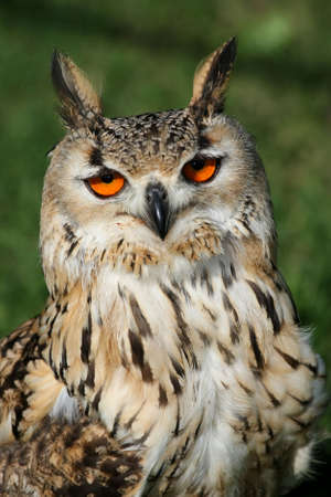 Bengal eagle owl with orange eyes and ear tufts photo