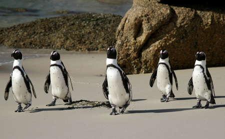 jackass: African or Jackass penguins crossing a sandy beach