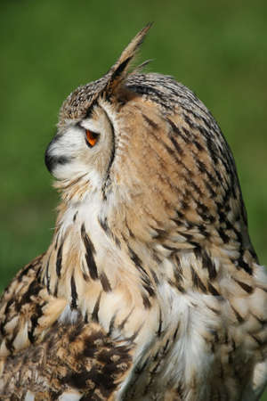 Profile of a Bengal eagle owl with orange eye and ear tufts photo