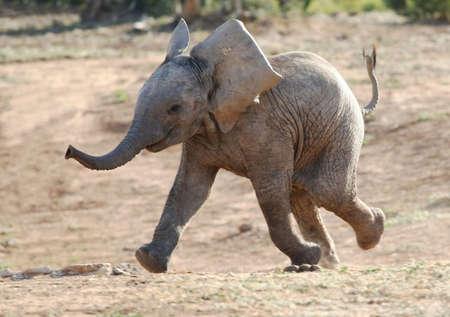 elefant: Aufgeregt Baby afrikanischen Elefanten ausgef�hrt, um ein Wasserloch