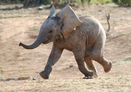 baby elephant: Excited baby African elephant running to a waterhole