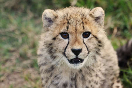 Cute young cheetah cub with spotted fur photo
