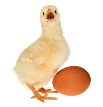 chicken egg: Fluffy yellow baby chicken calling and standing next to an egg
