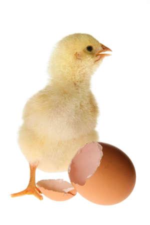 gallina con huevos: Permanente de pollo de esponjoso beb� amarillo junto a una c�scara de huevo abierto roto