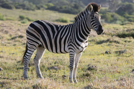 burchell: Burchell or Plains Zebra with black and white stripes