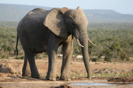 Huge male African elephant drinking water at a waterhole Stock Photo