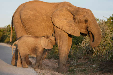 Baby African elephant suckling from it's mother Stock Photo - 7918449
