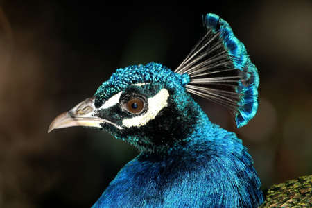 common peafowl: Beautiful blue peacock bird with shiny blue feathers Stock Photo