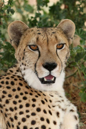 Magnificent cheetah wildcat with beautiful fur and big brown eyes photo