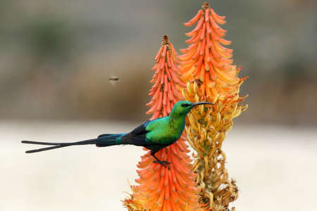 aloe flower: Malachite Sunbird and bees feeding on an Aloe Flower