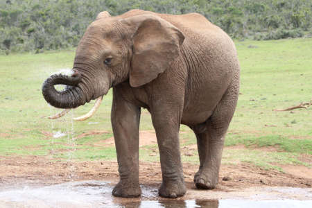African elephant drinking at a water hole photo