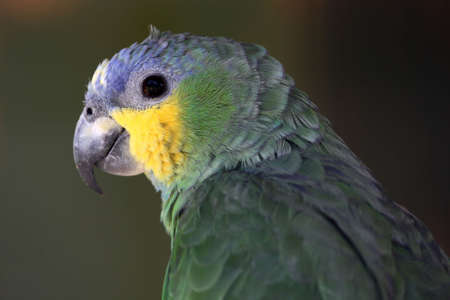 Profile of a Meyers parrot with green and yellow feathers photo