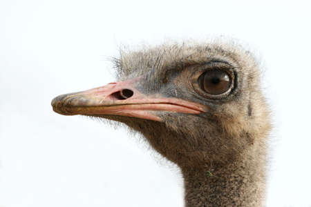 Young ostrich portrait with large round eye photo