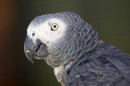 Portrait of a tame African Grey Parrot with a big beak Stock Photo - 8263527