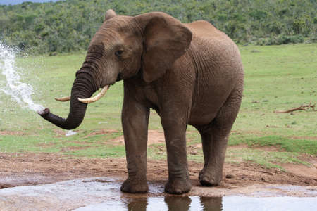 African elephant spraying at a water hole photo
