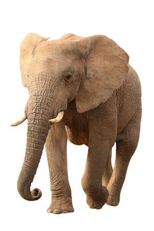 Huge African elephant isolated on white background