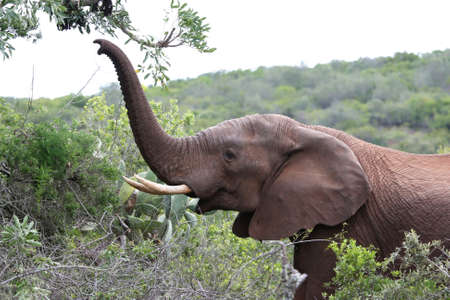 African elephant reaching out with its trunk to pick leaves