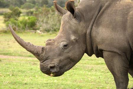 그것의 입에 잔디와 거 대 한 흰 코뿔소