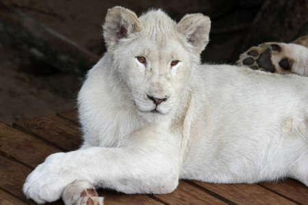 White lion with its legs crossed in a casual pose photo