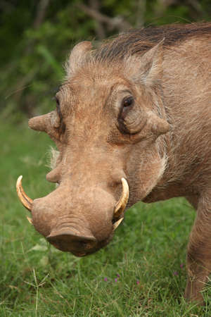 Warthog with ugly face and big sharp tusks photo