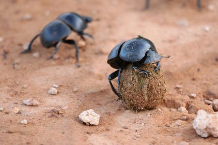 dung: Rare Flighless Dung beetle with its ball of dung Stock Photo