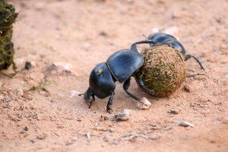 breeding ground: Rare Flighless Dung beetle with its ball of fresh dung