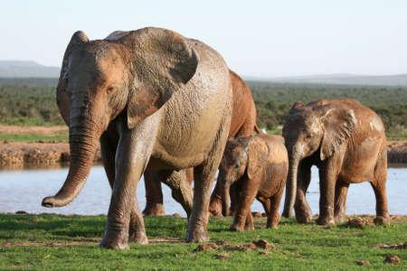 waterhole: Familia de elefante africano dejando una charca despu�s de beber