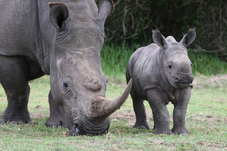 Cute baby White Rhino standing next to its mother with large horn photo