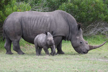 Cute baby rhinoceros with its mother in the background