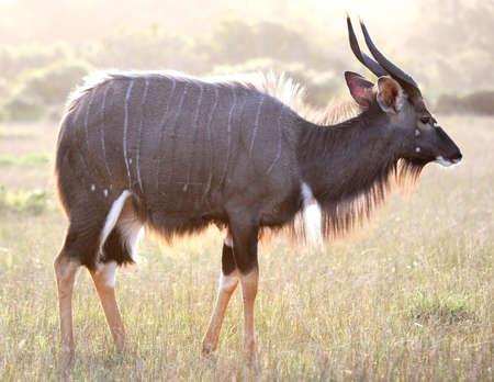 Nyala antelope ram backlit by late afternoon sun photo