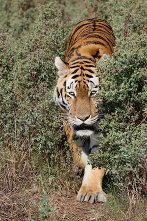 Large tiger on the prowl in the bush photo