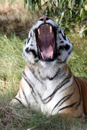 Beautiful tiger with mouth wide open showing huge teeth photo