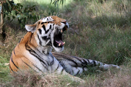 Beautiful tiger with mouth wide open showing huge teeth Stock Photo - 9111043