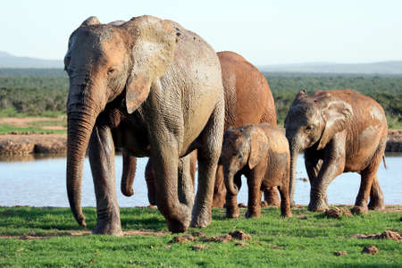 waterhole: African elephant family leaving a waterhole after drinking