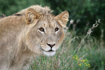 Wild lion in long grass staring into the distance Stock Photo