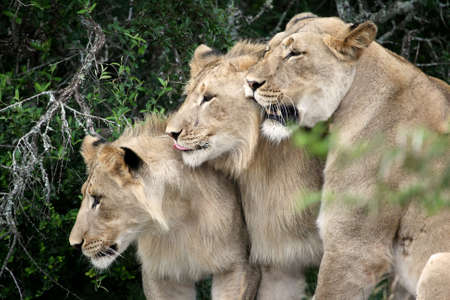 Female lion in the wild with her two sub adult offspring photo